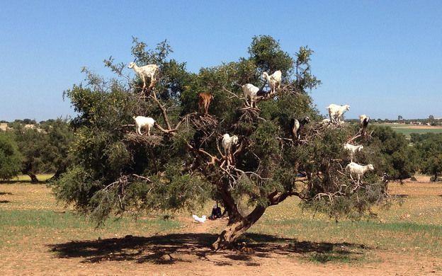 """Argan yağı üretiminde, """"Fas'ın Keçili Ağaçları"""""""