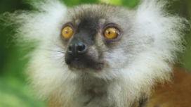 BBC belgeseli, Lemurların uyuşturuculu temizlik seanslarını görüntüledi.