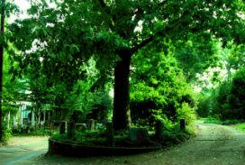 Kendisine ve köklerinin toprağına sahip olan meşe ağacı