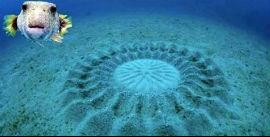 Kirpi Balığının olağanüstü çiftleşme ritüeli