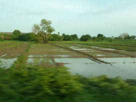 Pirinç tarlaları neden sularla kaplıdır? Pirinç hakkında bilinmeyenler.