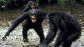 4 yıl süren ve tarihe geçen, Gombe Şempanze Savaşı!
