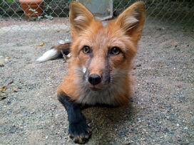 Rus Zoolog, Gümüş Tilki'yi çiftlikte yetiştirebilmek için evrimden yararlandı!