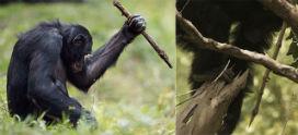 Mızrak kullanan şempanzeler!