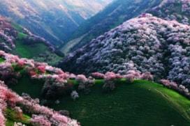 Elma çeşitilerin %90'ının ana vatanı, Kazakistan'da bulunan, olağanüstü güzellikteki elma ormanıdır.