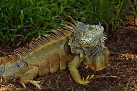 Porto Riko'da iguanalar ile mücadelede ilginç çözüm!