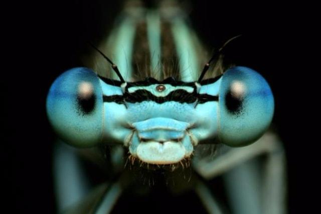Dişi yusufçuklar, istemedikleri taliplerinden kurtulmak için ölü numarası yapıyor.