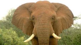Kaçak avcıların yaraladığı 3 yaralı fil, iyi insanlara sığındılar. Üstelik aralarından hiçbiri, bu iyi insanlarla daha önce karşılaşmamıştı…