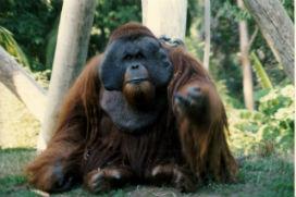 Kaçış Uzmanı Orangutan Ken Allen!
