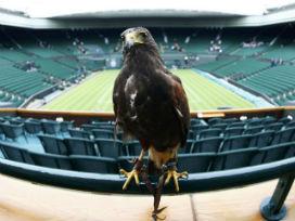 Wimbledon çalışanlarından biri Şahin Rufus!