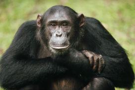 Eğer insanlar maymundan geliyorsa neden hala maymunlar var?