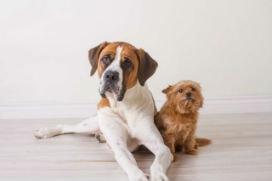 Küçük köpekler neden büyük köpeklerden daha uzun ömürlüdür?