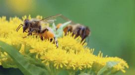 Bal arıları dans ederken ne söyler?
