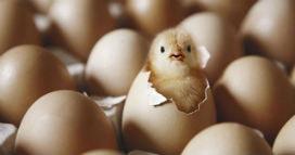 Civciv yumurtanın içindeyken nasıl nefes alır?