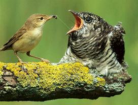 Evrimsel silahlanma yarışı: Bir yuva asalağı olan guguk kuşu yavrularını nasıl başka kuşlara baktırır?