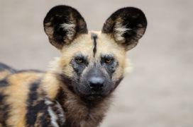 Afrika yaban köpekleri ava çıkma kararını oylama ile belirliyor.