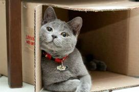 Kedilerin kutu sevdası neden kaynaklanır?
