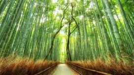 En Hızlı Büyüyen Bitki Bambu