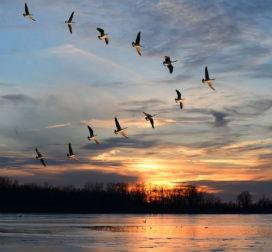 Göçmen kuşlar kaybolmadan binlerce kilometre yolu nasıl kateder?
