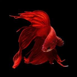 Kırmızı Ringa Balığı Safsatası Nedir?