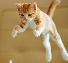 Kediler neden hep dört ayak üstüne düşer?