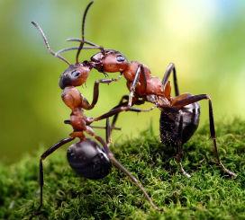 İki Karınca Karşılaşınca Neden Başlarını Birbirine Değdirir?