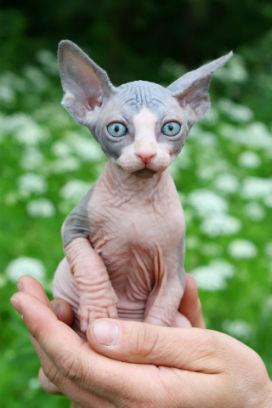 Sfenks Kedisi Dünyanın En Şirin Yaratıklarıyla Nasıl Rekabet Eder?
