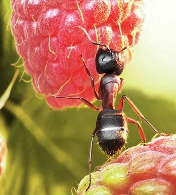 Karıncalar Ne Yer?