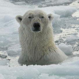 En Büyük Karasal Etobur Olan Kutup Ayılarıyla İlgili İlginç Gerçekler