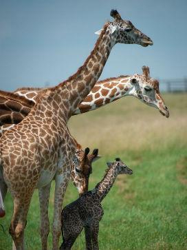 Zürafanın Boynu Neden Uzundur?