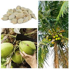 Hindistan Cevizi Nedir, Meyve mi, Tohum mu Yoksa Bir Kuru Yemiş Türü mü?