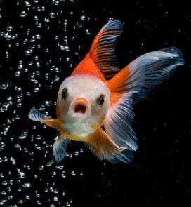 Balıklar Susar mı?
