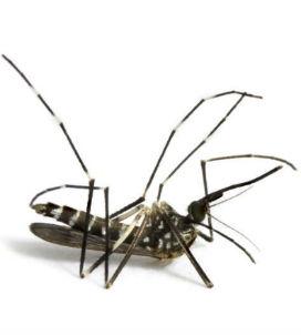 Sivrisineklerin Soyu Tükense Ne Olur?