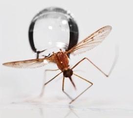 Yağmur Sivrisinekleri Nasıl Etkiler?