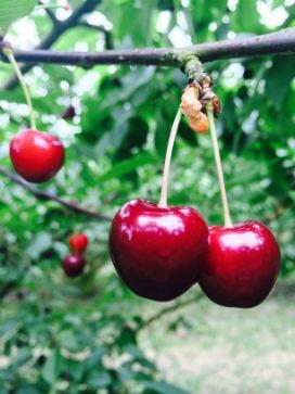 Bazı Meyvelerin Çekirdekleri Gerçekten Zehirli mi?