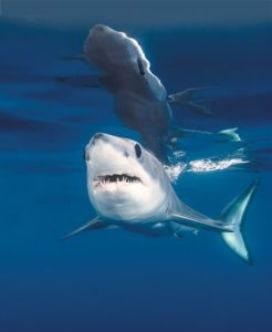 En Hızlı Yüzen Köpek Balığı Mako
