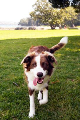 Köpekler Neden Kuyruklarını Sallar?