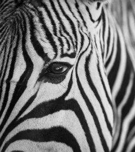 Neden Zebraları da Atlar Gibi Evcilleştirmedik?
