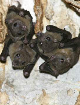 Yarasalar Neden Mağaralarda Yaşamayı Sever?